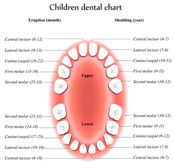 Pediatric Dentist and Orthodontist Dr. Steven Marcello - Tooth Eruption Chart